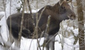Нелегальная охота на лосиху обошлась в Br162 млн